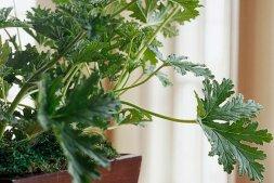 Những loại cây cảnh trồng trong nhà tạo mùi thơm tự nhiên cho căn hộ của bạn